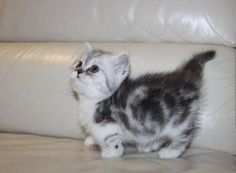 Short Legged Munchkin Kittens For Sale - Simpang - free ...