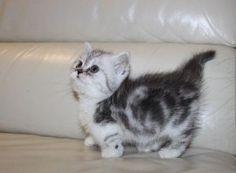 Himalayan Munchkin Kittens Des Moines IA Munchkin Cats