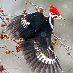 This incredible Pileated Woodpecker shot, taken by Pamela Underhill Karaz, was named one of the top