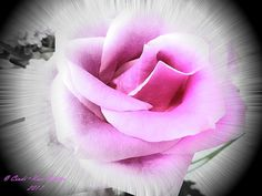 Pink Rose by Cindi-Rose Soutter