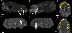 El antepasado más antiguo de las serpientes venenosas, al descubierto | N+1: artículos científicos, noticias de ciencia, cosmos, gadgets, tecnología