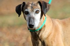 Greyhound dog for Adoption in Sparta, TN. ADN-405965 on PuppyFinder.com Gender: Female. Age: Adult