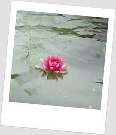 Os nenúfares são plantas aquáticas, que dão flores muito bonitas.