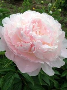 moonstone peony - so delicate and so perfect! Exotic Flowers, Beautiful Flowers, Peonies Garden, Peony Flower, Pink Peonies, Flower Photos, Spring Flowers, Beautiful Gardens, Planting Flowers