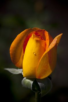 confidential by tam duy on Flowers Nature, Beautiful Flowers, Roses Only, Light Tattoo, Hybrid Tea Roses, Nature Animals, Yellow Roses, Flower Power, Different Colors