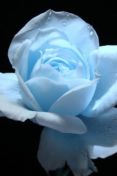 Blue rose, and what a great shade of blue too!                              …