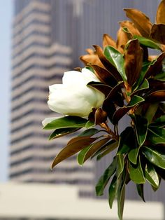 'Little Gem' magnolia. Magnolia grandiflora 'Little Gem' is a compact Southern magnolia bearing small white flowers. The tree grows 20 feet tall and 10 feet wide. Zones 7-9. LA