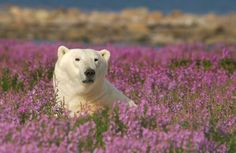 Polar bear in fireweed near Seal River Heritage Lodge. Photo by Dennis Fast.