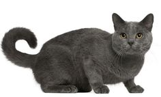 Chartreux cat information, pictures and descriptions featuring our exclusive -CatStats- Fact Files!