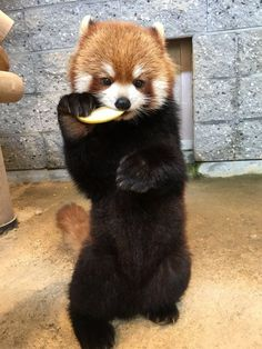 Super Cute Animals, Cute Funny Animals, Cute Baby Animals, Red Panda Cute, Panda Love, Red Panda Tattoo, Nature Animals, Animals And Pets, Neotraditional Tattoo