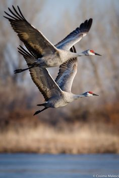 Pair of Sandhill Cranes in flight. - Waterfowl