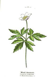 060314 wood anemone ~ Botanical-Wood-anemone-Wayside-and-Woodland-1895-Plate3.jpeg (1040×1511)
