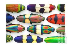 Jewel Beetles Photographic Print by Christopher Marley at Art.com