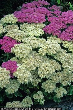 Sedum spectabile ('Iceberg' and 'Stardust' pictured here) is a clump forming herbaceous perennial up to 2 ft tall and just as wide. S. spectabile performs surprisingly well in heavy, clay soils and is drought and heat tolerant. Excellent as a perennial border, xeriscaping, rock gardens or as a specimen plant.Grows in sun to light shade in zones 4-9.