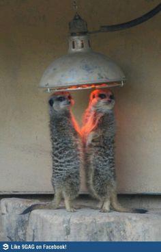 cold merecats at the London Zoo