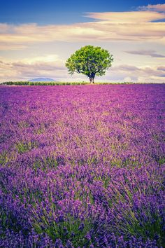 drxgonfly:  lavender at sunset (by frederic prochasson) /500px