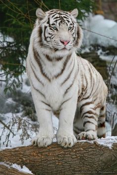 Fun & Interesting Facts About White Tigers Articles