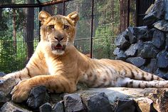 Eureka! The phrase that is proudly shouted whenever humanity had done something devious and it should come as no surprise that we are always up to …   this is a Liger ... inbred Lion with a Tiger