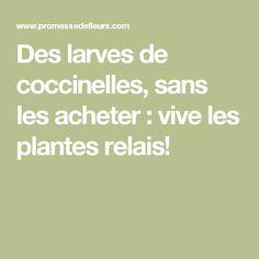 Des larves de coccinelles, sans les acheter : vive les plantes relais!