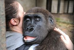A tranquilized Gorilla.
