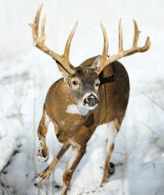 Whitetail buck chasing does through the snow Big Whitetail Bucks, Whitetail Deer Hunting, Deer Hunting Tips, Whitetail Deer Pictures, Deer Pics, Hunting Shows, North American Animals, Big Deer, Deer Family