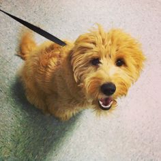 Bernie, a Labradoodle Pup loves the camera. She's completed the Puppy Socialization Class and is now ready to conquer Kate's Basic Obedience Class!