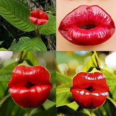 Cheap plants for homes, Buy Quality bonsai pot plant directly from China flower seeds Suppliers: Red Lips Flower Seeds Rare Flower Pots Psychotria Elata Flower Seeds 100 pcs / bag bonsai pot plant for home garden Orchid Seeds, Flower Seeds, Flower Pots, Flower Bookey, Flower Film, Cactus Flower, Home Garden Plants, Bonsai Garden, Bonsai Plants