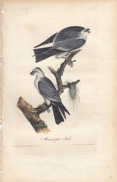#art Rare Audubon Birds Of America Print 1st Ed 1840: MISSISSIPPI KITE 17 please retweet