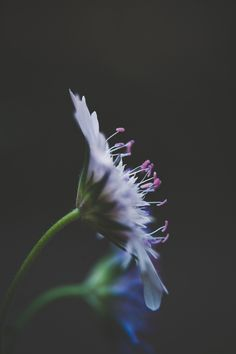 iseeyouflower darknature 4 - Fine Art Floral Photograph Wild Scabious Macro Purple Pincushion Flowers