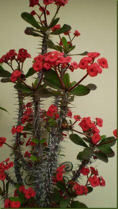 Euphorbia milii splendens, Corona de Espinas, Espina de Cristo