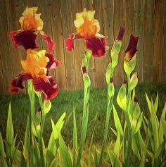 Two Tone Bearded Iris by Leslie Montgomery