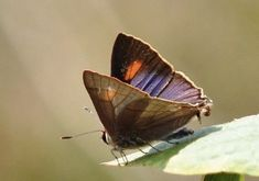 Butterflies Flying, Himalayan, Planet Earth, Nepal, Images, Butterfly, Blue, Animals, Butterflies