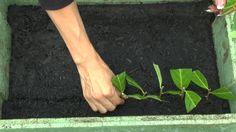 Stecklinge vom Kirschlorbeer ganz einfach, selber machen
