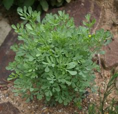Rue (RUTA) is considered a national herb of Lithuania and it is the most frequently referred herb in Lithuanian folk songs, as an attribute of young girls, associated with virginity and maidenhood. It was common in traditional Lithuanian weddings for only virgins to wear a rue (ruta) at their wedding, a symbol to show their purity.