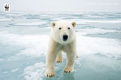The impact of climate change on species. Polar bear (Ursus maritimus) on sea ice, off the coast of Svalbard, Norway