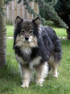 I first saw a Finnish lapphund on a train to Edinburgh, and I cannot get it out of my head. Beautiful!