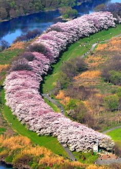Cherry blossom - Sewaritei Bank, Yawata, Kyoto, Japan