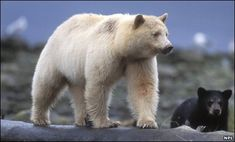 "The Kermode bear, also known as the ""spirit bear"", is a subspecies of the North American Black Bear living in the Central and North Coast regions of British Columbia, Canada. It is the official provincial mammal of British Columbia. Atheist Nexus, Patricia"