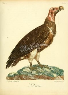 Lappet-faced vulture      ...