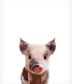 Baby Pig Print