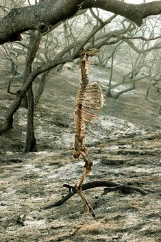A deer, hanging by its antlers from the branch of a tree in Griffith Park, California, after a fire in 2007.