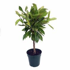 """Braided Coralberry Plant - Ardisia crenata - Easy to Grow House Plant -6"""""""" Pot"""