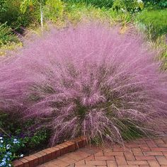 - Cotton Candy Ornamental Grass
