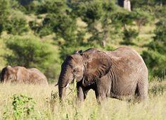 15 dager: Safari i Tanzania & badeferie på Zanzibar Tanzania, Safari, National Parks, Elephant, Travel, Animals, Nature, Viajes, Animales
