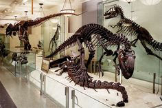 Postcard of Allosaurus looming over the bones of an Apatosaurus at the American Museum of Natural History. Photo by J. Beckett.