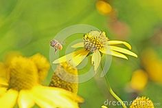 A honey bee taking flight between yellow daisies in Ontario, Canada. The location was a thick patch of yellow daisy, right between a river and a forest, beautiful nature scenery accessed only by hiking trail. Yellow Daisies, Hiking Trails, Ontario, Daisy, Scenery, Bee, Honey, Canada, River