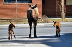 Twin Symmetry - Moose Family in Homer, Alaska. Beautiful Nature Pictures, Cool Pictures, Beautiful Places, Homer Alaska, Anchorage Alaska, Wild Creatures, Hawaii Travel, Adorable Animals, Deer