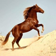 The Berber horse of North Africa
