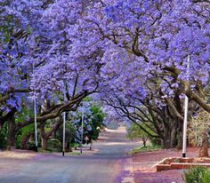 Jacaranda trees lining the street in Pretoria, South Africa, purple bloom in October.