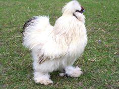 Bantam Chicken Breeds | silkie bantam videos site map home chicken breeds chicken articles ...